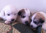 Pyr pups 3