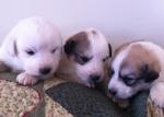 Pyr pups 3